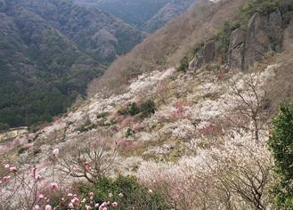 幕山の麓に約4千本が咲く