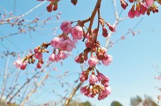二分咲きの大雄紅桜=3月20日撮影