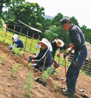 コキアの苗を植える飯田さん(中央)ら有志のメンバー