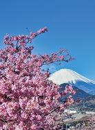 桜と富士の共演