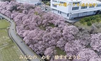 今年の満開の「春めき」桜を上空からの映像で楽しむことができる
