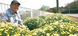 県道沿い彩るざる菊