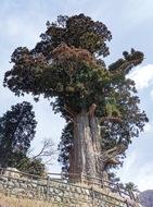 樹齢二千年の箒杉