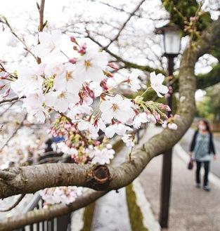 花を咲かせるソメイヨシノ(3月22日撮影)
