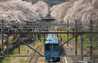 桜のアーチへ向かう電車