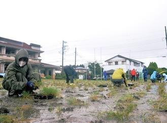 雨の中、芝生の植え付けを行う町職員ら