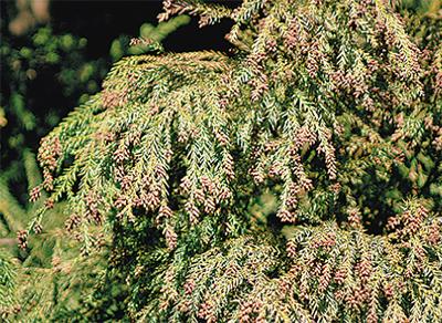 花粉飛散量は昨年の約5倍