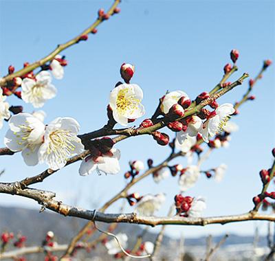 春を呼び込む梅の花