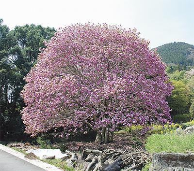 里山に咲くモクレンの花