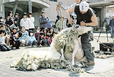 羊の毛刈りショー開演