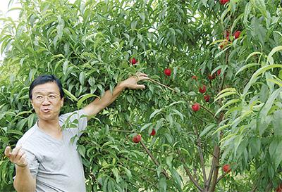 早期収穫のモモに期待