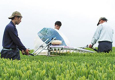 茶畑に新芽再び