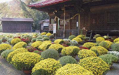 岸の八幡神社でざる菊まつり