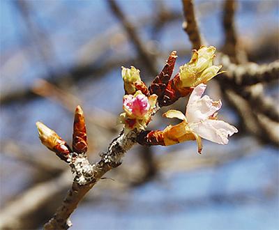開花待つ蕾たち