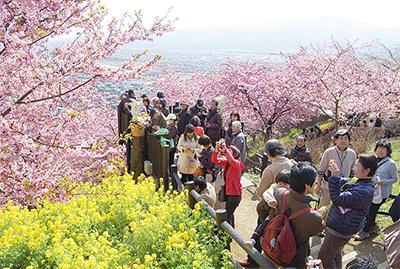 早咲き桜と富士の絶景