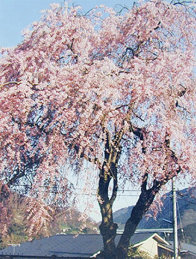 しだれ桜のお寺で花まつり法要
