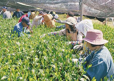 手摘み作業で収穫始まる