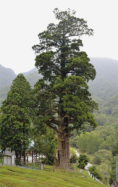 樹齢2千年の真下に湧水
