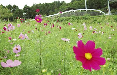 コスモスが開花