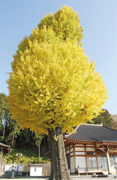 黄色に染まる大銀杏