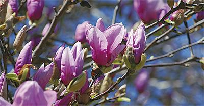紫木蓮が見頃