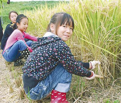 手作業で米収穫
