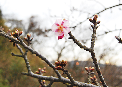 松田山に春の訪れ