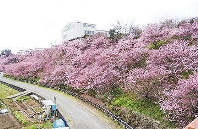 河津から春めきへ