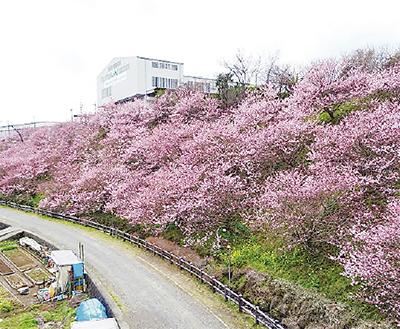 桜の里親募集