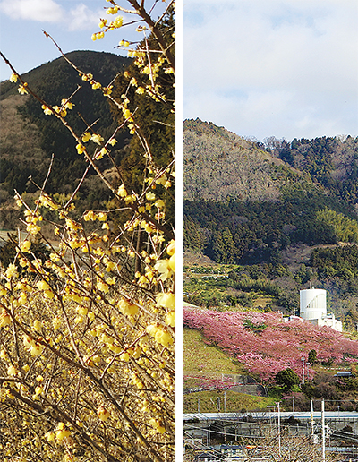 金とピンクに色づく松田山