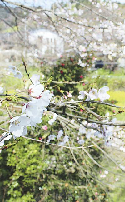 開花に合わせ桜まつり延長
