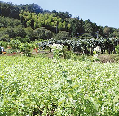 里山に蕎麦の白じゅうたん