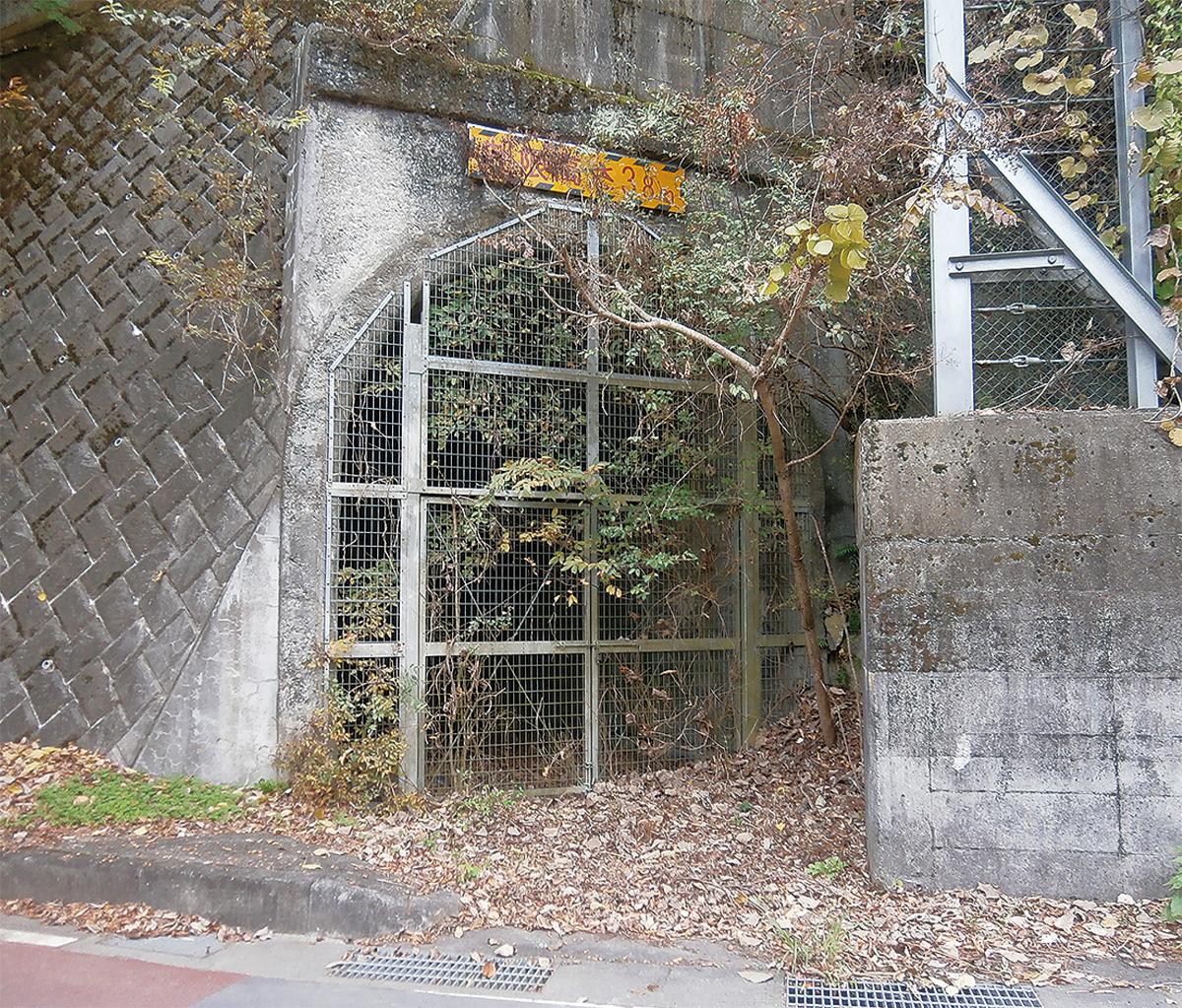廃トンネルで軟化ウド栽培