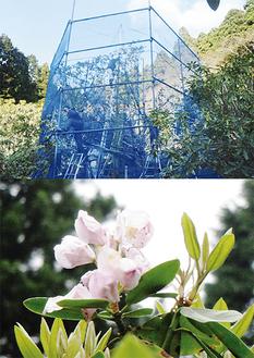 例年5月下旬に開花を迎える
