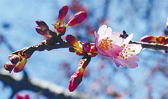 濃いピンクの花びらが特徴