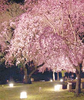 夜の竹林に浮かぶ桜
