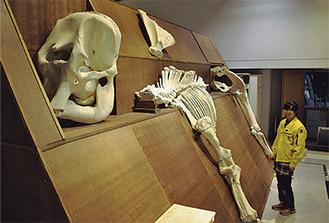 頭骨は3人がかりで台に載せた