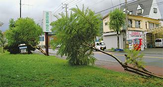 風で倒れた2本の街路樹16日・千歳川沿い公園