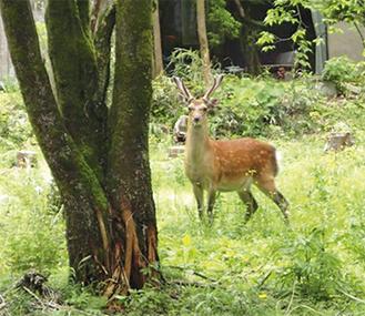 昨年5月、仙石原で見つかったシカ写真提供:環境省箱根自然環境事務所