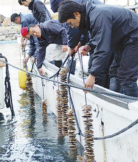 ホタテについた稚貝を真鶴の海に慣らす=15日