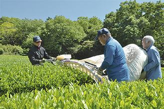 茶摘み機を滑らせるように動かし新芽を袋にためてゆく