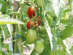 堆肥で育った野菜(株)ヤサイクル提供