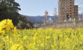 黄色い畑の中には散策用の小道もある