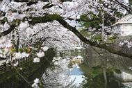 桜・桜・ら・ら・ら
