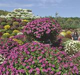 ゴージャス菊の楽園