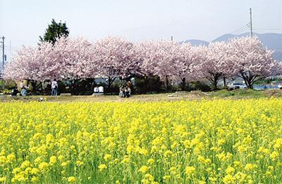 春めき桜まつり