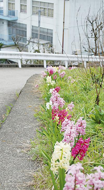 青木さんのヒヤシンス開花