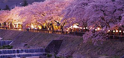 宮城野の桜がライトアップ
