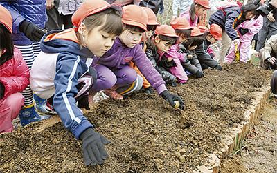 球根を植える竹田市の子供たち(今年1月) 球根を植える竹田市の子供たち(今年1月)  岡城址の箱