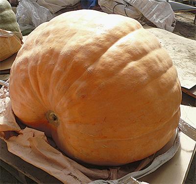 ジャンボかぼちゃ到着